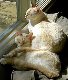 Siblings in love #cats #love http://ihavecat.com/2014/02/08/kitty-love-part-2/