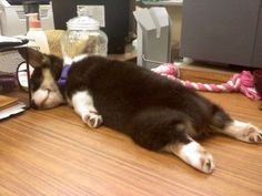 Now that is one tired pup! I wish I could do this on my desk at work, don't you? - Source