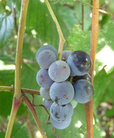 Edubkw weed - wild grapes