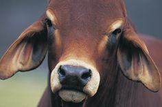Brahman (Bremer) part of a new herd.