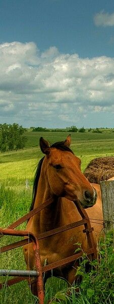 Handsome Bay Standing at the Edge of the Pasture.