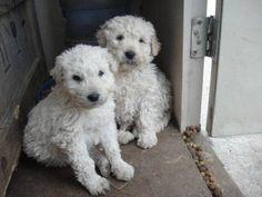 Hungarian Komondor Sheepdog #Puppy #Dogs