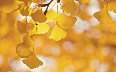 Download wallpaper tree, branch, leaves, ginkgo, glare, nature resolution 1280x800