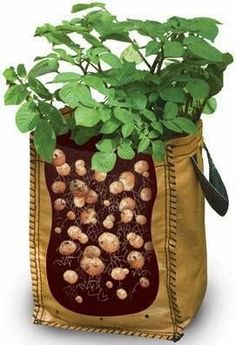 Growing Potatoes In Bags.....how to do it | Dreaming Gardens