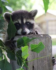 uninvited guest -- [REPINNED by All Creatures Gift Shop]  I'll invite him or her. All raccoons are welcome here. :-)