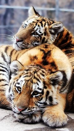 Tiger are starting to become Endangered. Not a good thing for tigers.                                                                                                                                                                                 More
