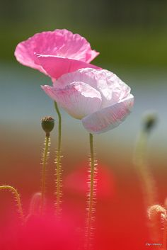 "flowersgardenlove: "" poppies by Sky-Genta Beautiful gorgeous pretty flowers "" Amazing Flowers, My Flower, Beautiful Flowers, Beautiful Pictures, Simply Beautiful, Pink Poppies, Pink Flowers, Orquideas Cymbidium, Flower Shops"