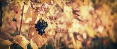 a small bunch of grapes left hanging in the vineyard Vines, Vineyard, Autumn, Fruit, Fall, The Fruit, Arbors, Vitis Vinifera