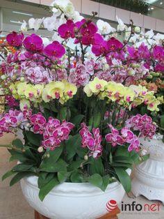 hoa lan hồ điệp,hoa lan hồ điệp tím,hoa lan hồ điệp rừng,hoa lan hồ điệp giả,hoa lan hồ điệp bằng pha lê,hoa lan hồ điệp trắng,hoa lan hồ điệp bằng vải voan,hoa lan hồ điệp bị vàng lá,hoa lan hồ điệp có ý nghĩa gì,hoa lan hồ điệp vàng