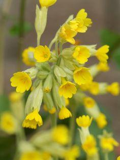 Primula veris - Gulden sleutelbloem Goed voor Bijen