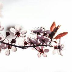 #flowers #flower  #beautiful #pretty #plants #blossom #spring #flowerstagram #flowersofinstagram  #flowerslovers #floral #instablooms  #blooms #floweroftheday #sakura #桜 #さくら  #ig_flowers #superb_flowers #insta_pick_blossoms #bns_flowers #ip_blossoms #myheartinshots #lovely_flowergarden #bns_flowers #ip_blossoms