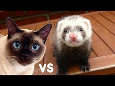 Ferret vs Cats. Funny Ferret Mosya (part 2) -  #animals #animal #pet #cat #cats #cute #pets #animales #tagsforlikes #catlover #funnycats Send your funny videos: alexadi2017@gmail.com For Ferrets: Funny ferret against cats. These domestic animals are fighting with each other, and then sleep in an embrace. Weasel cat bites, and he floats... - #Cats