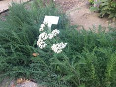 Common Yarrow with an uncommonly long bloom #BloomingNow #IdealMowMeadows #CaliforniaNativePlants