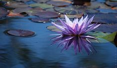 Lotus Flower images - Saferbrowser Yahoo Image Search Results