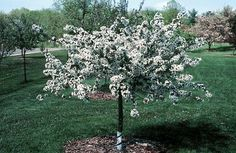 Sargent Tina Crabapple - dwarf, can plant next to the house, pretty spring blossoms Disease resistant says Bachmans Resistant to scab says U of MN Garden On A Hill, Home And Garden, Dwarf Trees, Memory Tree, Shade Structure, Water Lighting, Spring Blossom, Garden Landscaping, White Flowers