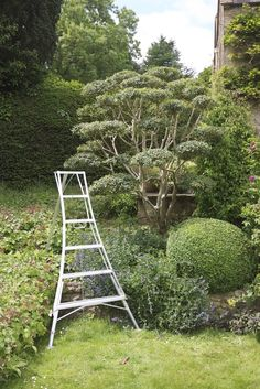 /\ /\ . Jake Hobson . cloud pruning & organic topiary . osmanthus burkwoodii