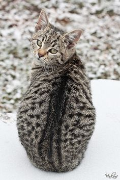 The markings on this cat are similar to our kitten.  Nevena Uzurov - Kitty in the snow by venkane, via Flickr