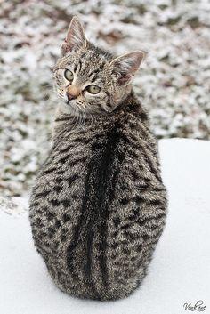 Nevena Uzurov - Kitty in the snow by venkane, via Flickr
