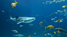 Catch a glimpse of the largest fish in the world � the whale shark � from Placencia, Belize.
