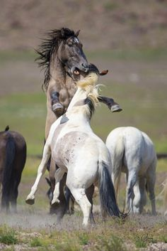 Wild Horses - Two Mustang stallions fight in Utah's west desert.