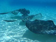 Swim with Stingrays - Antigua! Types Of Stingrays, Types Of Rays, Grand Cayman Island, Cayman Islands, Spotted Eagle Ray, Stingray Fish, Salt Water Fish, Manta Ray, Antigua