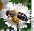 Plants for Honeybees