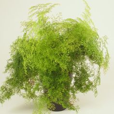 Adiantum microphyllum Maidenhair Fern, Photosynthesis, Aquatic Plants, Green Grass, Fungi, Ferns, Shrubs, Leaves, Mushrooms