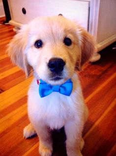 用意終わったよ。。。 Puppies with bow-tie's, as if we needed a reason to find them more adorable.