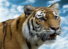 Title  Tiger In The Sky   Artist  Terry Weaver   Medium  Photograph - Photo