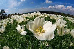White Tulip by Mustafa Tiryakioglu on 500px