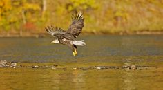 Bald eagle taking off. (sequence) ©njwight