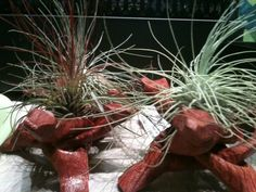 "Get a unique ""air plant"" and an artistic display for it at The Garden Store at Daniel Stowe Botanical Garden"