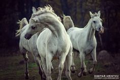 Three white horses - running stallions by Dimitar Hristov (54ka) Three white horses – running stallions Photography by Dimitar Hristov - 54ka action animal arabian art bay beautiful Beauty beautyful horse black body canter chestnut color cream danger domestic dust elegance emotions equestrian Equestrian Beauty equestrian photography equine farm fast fastest fear fight force