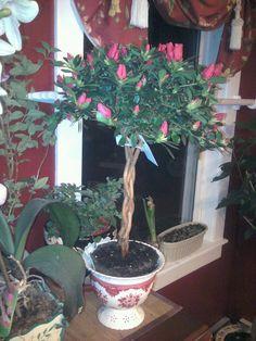 azalea tree....