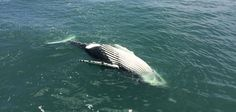 Dozens of humpback whales have died in the last year and nobody knows why