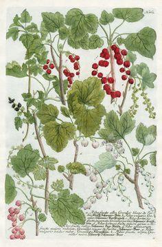 Ribes fructu albo, Groselier blanc de Jardin (1083×1650)