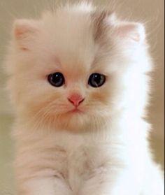 Cute Teacup Persian Kitty