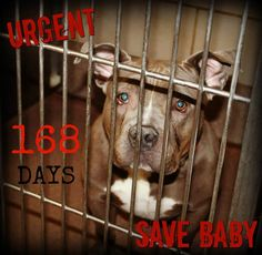 5/17 Can someone please help SAVE BABY? She has been at the shelter since Nov. 22nd'16. The longest resident at City of Aurora IL Animal Care & Control An URGENT dog. When I think of the true definition of what a rescue is & what it does, I think of Baby & her situation. needs RESCUE! Please email: rescueoradopt@aurora-il.org to make an appointment to meet Baby.You can see more of Baby by watching her video at: https://www.youtube.com/watch?v=ztUuMIVSJyU