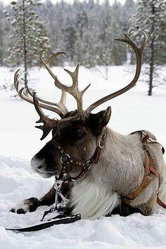 #resting #reindeer #christmas