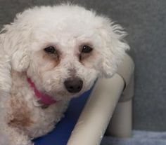 Adopt Saffron, a lovely 7 years Dog available for adoption at Petango.com.  Saffron is a Bichon Frise and is available at the National Mill Dog Rescue in Colorado Springs, Co.  www.milldogrescue.org #adoptdontshop  #puppymilldog   #rescue  #adoptyourfriendtoday