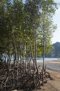 Railay East Trees in Water Travel Photos, Thailand, Asia, Country Roads, Trees, Gallery, Water, Travel Pictures, Gripe Water
