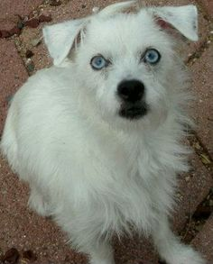 Sassy-t Jack Russell Terrier (Parson Russell Terrier) • Young • Female • Small  Arizona Poodle Rescue Tucson, AZ