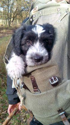 Schapendoes puppy Oy, 12 weeks.