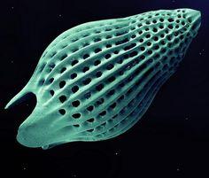 Radiolarian - SEM image