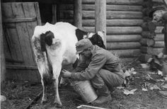 Finnish soldier milking a cow on the front