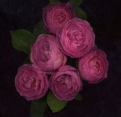 'Madame Isaac Pereire' is a shrub rose bred by Garcon in 1881 and named after the wife of a Parisian banker