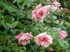 """Sénateur Lafolette est un grimpant qui peut atteindre les 10 mètres et produit de grosses fleurs à profusion, rose saumon mêlé de crème, bien doubles, avec un parfum """"sauvage"""" d'herbe et de thé. La floraison est spectaculaire en avril-mai, puis remonte jusqu'aux gelées. Le feuillage est ample et vert clair, persistant et absolument sain. Non seulement il s'accommode de la sécheresse mais il a besoin de chaleur pour pousser. Sans taille. Chinensis, hybride de Gigantea. Busby, 1912."""