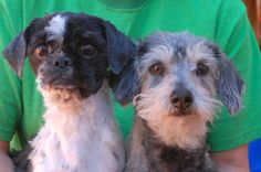 """Tender-hearted pair, Shih-Tzu & Toy & Terrier mix, spayed/neutered, 7 yrs. <3 """"Lady & The Tramp"""" <3 were found on the Vegas streets in poor condition.  They are good w/ other dogs!  They are soul-mates & need to remain together forever!  They have gentle spirits.  A calm home environment is ideal.  Please plan & budget for regular professional grooming. Nevada Society for the Prevention of Cruelty to Animals, Inc. (Nevada SPCA) Las Vegas, NV  89118"""