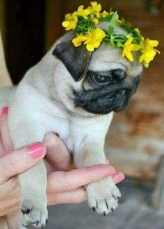 flower pug More