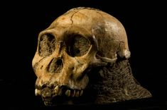 Fossils of the extinct hominid known as Australopithecus sediba were accidentally discovered by the 9-year-old son of a scientist in the remains of a cave in South Africa in 2008, findings detailed by researchers last year. The fossils' mix of human and primitive traits found in the brains, hips, feet and hands make a strong case for it being the immediate ancestor to the human lineage, scientists report in the Sept. 9, 2011, issue of the journal Science.  The fossils included remains of a…